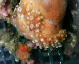 八放サンゴ亜網(土台カイメン約4センチ)