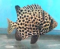 画像2: ☆☆☆当店ハンドコート・・イシガキダイ幼魚(5〜10センチ前後)の2匹セット
