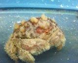 《近海産甲殻類》オオタマオウギガニ(フリー個体)…ハンドコート採取