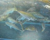マアジ幼魚(豆アジ)・・4匹セット