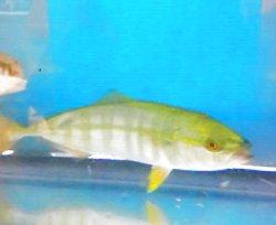 画像1: ブリ幼魚(17〜20センチ前後)の2匹セット…大量捕獲セール(1匹120サイズ梱包です)