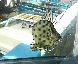 画像1: カガミダイ・・幼魚
