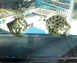 画像3: カガミダイ・・幼魚