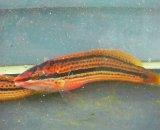 キュウセン 雌(MLサイズ)