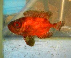 画像2: 《近海産海水魚》ホウセキキントキ(SMサイズ)…ハンドコート採取