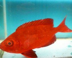 画像2: 《近海産海水魚》ホウセキキントキ(MLサイズ)