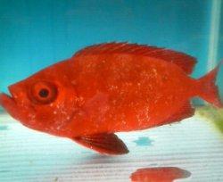 画像1: 《近海産海水魚》ホウセキキントキ(MLサイズ)