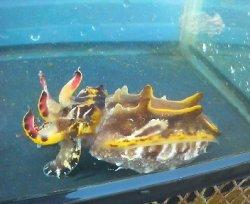 画像2: ハナイカ(Lサイズ)・・雌抱卵中