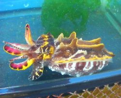 画像1: ハナイカのSサイズ