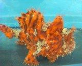 カエルアンコウ(赤橙虎)