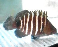 画像3: マハタ幼魚