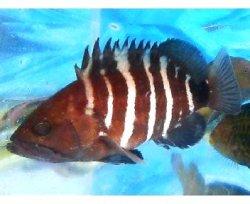 画像1: マハタ幼魚
