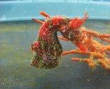 ハナタツ レッドゼブラ(抱卵雄)・・2週間程度で孵化します