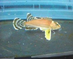 画像2: 《近海産海水魚》ハチ(Sサイズ)