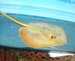 画像4: 《近海産海水魚》アカエイ幼魚…ハンドコート採取