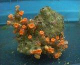 ホソアシサンゴ(約10センチ前後)
