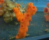 オノミチキサンゴ (約6センチ前後)