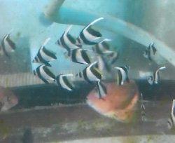 画像1: 《近海産》ムレハタタテダイ幼魚の3匹セット…当店ハンドコート採取