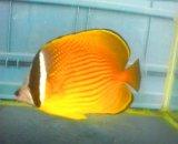☆☆ゆうパック指定で送料無料ナミチョウ(チョウチョウウオ)・・Lサイズの2匹セット