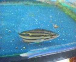 画像2: クロホシフエダイ幼魚