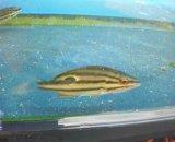 《近海産海水魚》クロホシフエダイ幼魚…当店ハンドコート採取