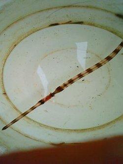 画像2: アオヤガラ(Sサイズ)