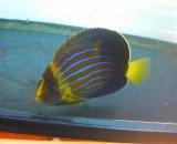 キンチャクダイ(SSサイズ)幼魚模様変化中サイズ