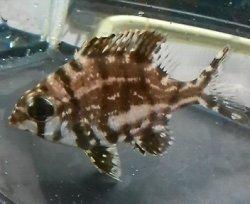 画像1: 《近海産海水魚》メイチダイ(Sサイズ)1匹…ハンドコート採取