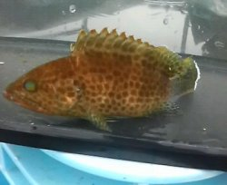 画像1: オオモンハタ・・幼魚