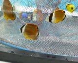 《近海産海水魚》ナミチョウ(チョウチョウウオ)Sサイズ1匹…当店ハンドコート採取