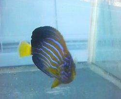 画像2: キンチャクダイ幼魚(送料無料)・・近海物ブルーフェース