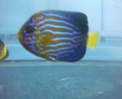 画像3: キンチャクダイ幼魚(送料無料)・・近海物ブルーフェース