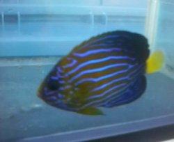画像4: キンチャクダイ幼魚(送料無料)・・近海物ブルーフェース