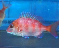 画像1: マダイ幼魚