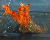オキノセキサンゴ