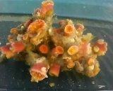 ホソアシサンゴ