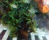 ナンヨウキサンゴ 単本物(約7センチ前後)