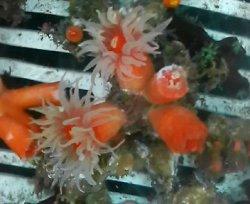 画像3: シロバナキサンゴ(約5センチ前後)
