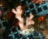 オキノセキサンゴ(SP) 特殊カラー(ホワイトポリプ)