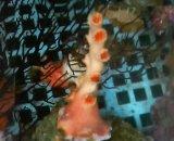 オキノセキサンゴ(約10センチ)