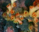 オキノセキサンゴ(約20センチ)
