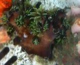 ナンヨウキサンゴ(約6センチ前後)