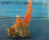 オキノセキサンゴ(約10センチ)ダブル