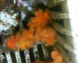 オノミチキサンゴ(約8センチ)
