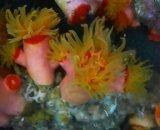 オオエダキサンゴ(約8センチ)