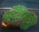 ハナガタサンゴ(グリーン)単体物
