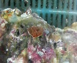 画像2: ニイノタコアシサンゴ