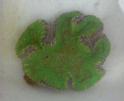 画像2: ハナガタサンゴ(グリーン極美個体)