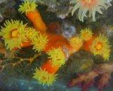 エントウキサンゴ(約6センチ前後)