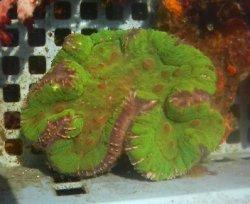 画像3: ハナガタサンゴ(グリーン極美個体)
